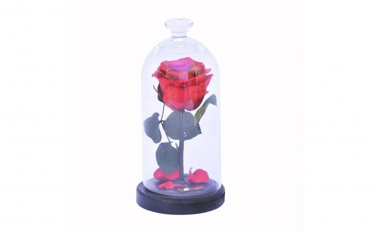 Trandafir Criogenat Rosu Queen Roses