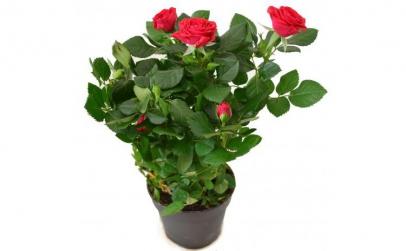 Trandafir pitic rosu - Plante de