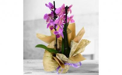 Orhidee phalaenopsis mov - Plante de