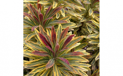 Euphorbia xmartinii Ascot Rainbow