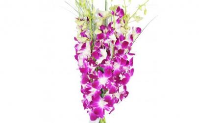 Buchet de 11 orhidee dendrobium mov