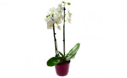 Orhidee phalaenopsis alba - Plante de