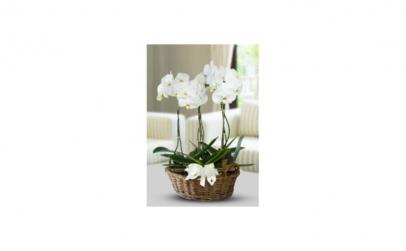 Orhidee in cosulet