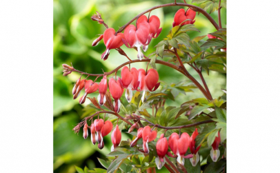 Dicentra formosa King of Hearts