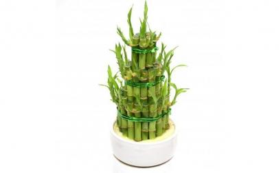 Bambus - Plante de apartament