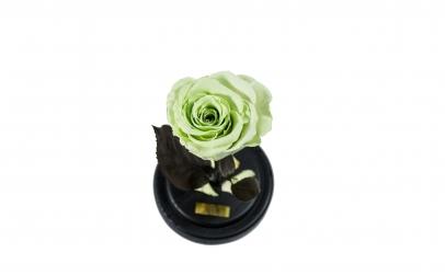 Trandafir Criogenat Menta Queen Roses