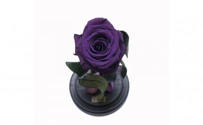 Trandafir Criogenat Mov Queen Roses