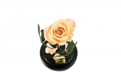 Trandafir Criogenat Crem Queen Roses