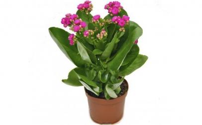 Kalanchoe roz - Plante de apartament