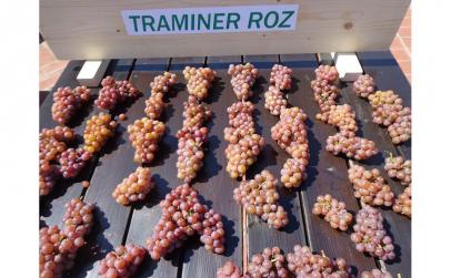 Traminer Roz-Set 25 butasi vita de vie