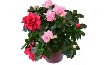 Azalee roz - Plante de apartament