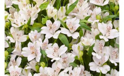 Buchet de 35 alstroemeria albe