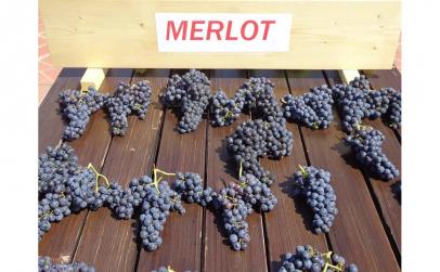 Butasi vita de vie Merlot