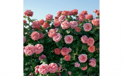 Trandafir Meilland Laguna
