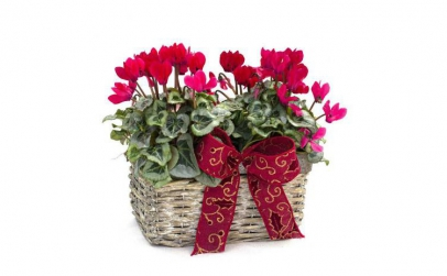 Aranjament floral cyclamen in ghiveci