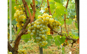 Chardonnay - vita de vie soi de vin