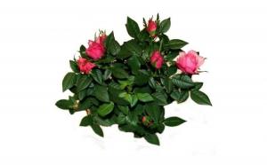 Trandafir pitic roz