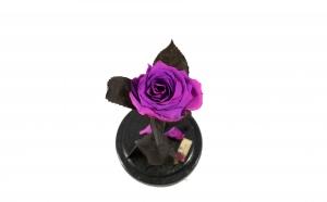 Trandafir Criogenat Fucsia Queen Roses