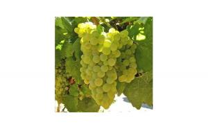 Muscat Ottonel - soi aromat de vin, Sarbatori Pascale, Gradina