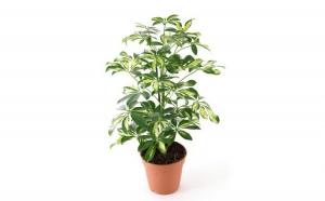 Schefflera - Plante