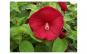 Hibiscus moscheutos Luna Red