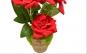 Trandafiri ghiveci